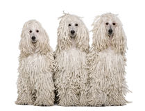Three White Corded standard Poodles sitting Stock Photo