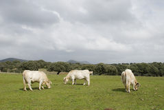 Three white cows. Royalty Free Stock Image
