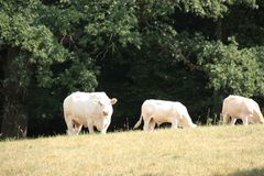 Three white cows on a meadow in summertime 2018, seen in the Pfälzer Wald stock photos