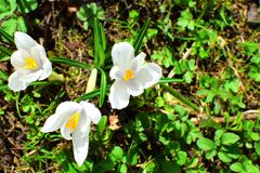 Three white crocuses royalty free stock photos