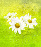 Three White Daisies. A watercolour painting of three white daisies Stock Photos
