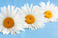 Three white daisies on a blue background. Сhamomile Stock Images