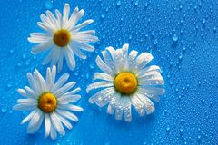 Three white Daisy on a blue background water drops, summer color. S for the design stock photos