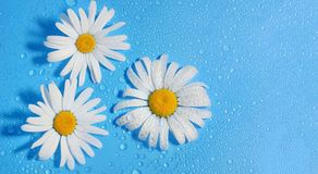 Three white Daisy on a blue background water drops, summer color. S for the design stock photography