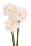 Three white double daffodils Royalty Free Stock Images