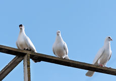 Three white doves stock images