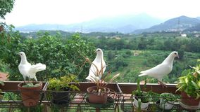 Three white doves on a balcony Royalty Free Stock Photography