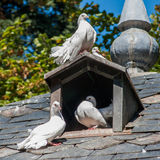 Three white doves. On the roof of a dovecote royalty free stock image