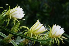Three white Dragon Fruit flower against the back ground with bokeh. In Asia they called Dragon Fruit while in Europe they called Pitaya. The science name is Stock Image