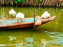 Three white duck on a boat Stock Photo
