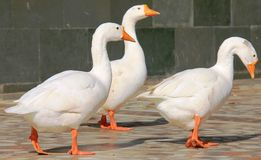 Three white ducks Royalty Free Stock Photos