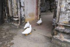 Three white ducks entering 15th Century Bich Dong Pagoda. Complex at Ngu Nhac Mountain near Tam Cot, Vietnam Royalty Free Stock Photo