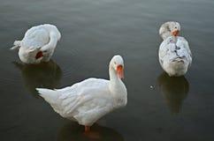 White ducks Royalty Free Stock Images