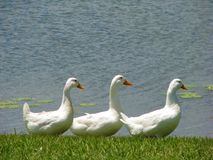 Three white ducks in a row on the lake shore. Three white ducks in a row walking on the lake shore Stock Photo