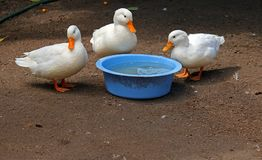 THREE DUCKS STANDING AROUND A BOWL OF WATER Royalty Free Stock Image