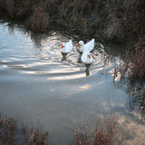 Three white ducks swim in the water Royalty Free Stock Photo