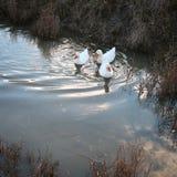 Three white ducks swim in the water Royalty Free Stock Photo
