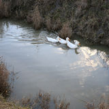 Three white ducks swim in the water Royalty Free Stock Photography