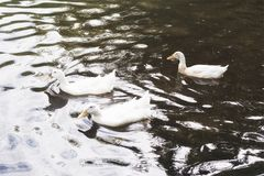 Three white ducks swimming in a lake at sunrise Royalty Free Stock Photography