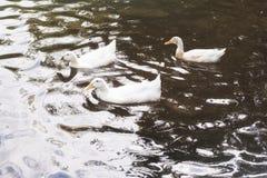 Three white ducks swimming in a lake at sunrise Stock Image