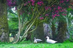 Three white ducks under the tree with purple flowers royalty free stock image