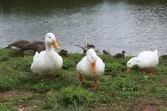 Three white ducks waddling in the grass Stock Photo