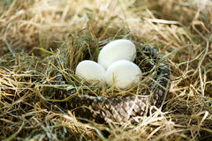Three white eggs in the straw nest Stock Photos