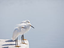 Three White Egrets Stock Photo