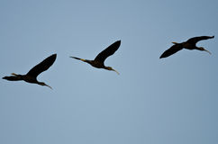 Three White-faced Ibis Flying in a Blue Sky Stock Photo