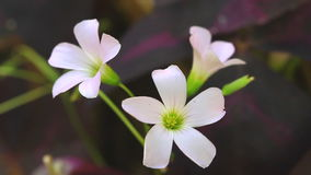 Three white flowers, close up stock footage