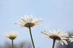 Three white flowers daisy a view against a blue sky closeup royalty free stock photos