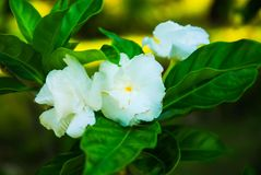 Three White Flowers. This picture represents aThree white flowers that symbolizes nature& x27;s purity royalty free stock photo