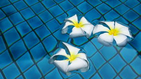 Three white flowers in water at swimming pool. 