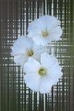 Three white flowers Stock Photography