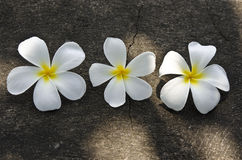 Three white Frangipani flowers on the grunge stone texture backg Stock Photography
