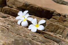 Three white frangipani (plumeria) spa flowers Stock Images