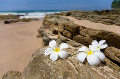 Three white frangipani (plumeria) spa flowers on rough stones Royalty Free Stock Photo