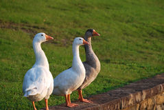 Three white geese Stock Images