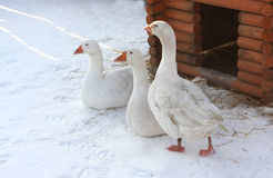Three white geese. On white snow Stock Photo