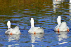 Three white geese Royalty Free Stock Photography