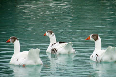 Three White geese in the water Royalty Free Stock Images