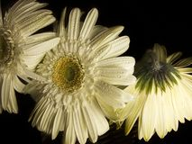 Three White Gerber Daisies. A close up of three Gerber Daisy flowers with dark background royalty free stock photo