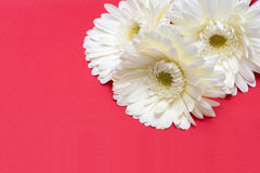 Three white gerbera flower on red background Stock Photo