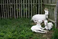 Three White Goats Royalty Free Stock Photo