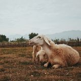 Three White Goats on Field Royalty Free Stock Photo
