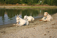 Three white goats resting near a river Royalty Free Stock Image