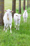 Three white goats standing on grass with tree trunks Stock Photos