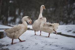 Three white goose. In the clearing in winter in the snow royalty free stock images