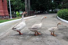 Three white goose, father mother and baby walking on the line. stock photo