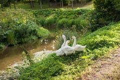 Three White Goose On The River Bank. Idilic Landmark In The Village stock image